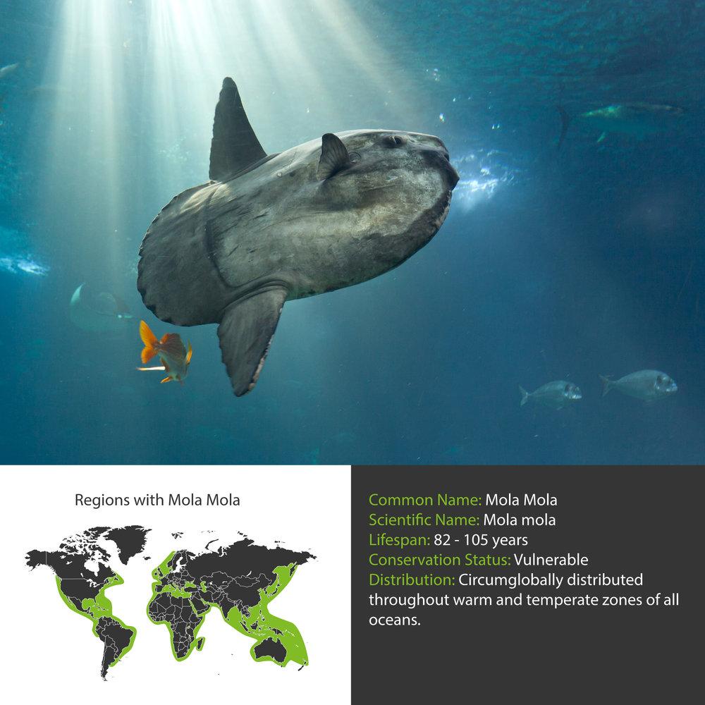 Mola Mola Facts