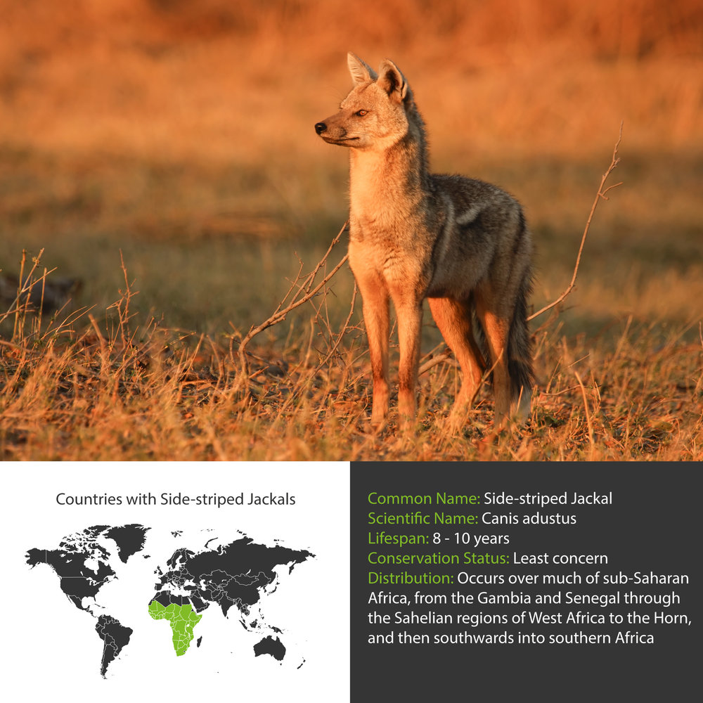 Side-striped Jackal Distribution