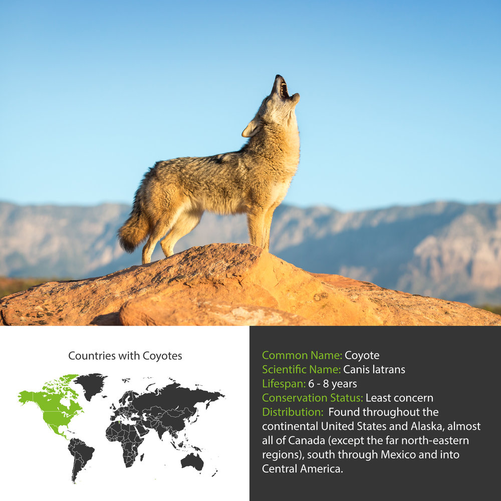 Coyote Distribution