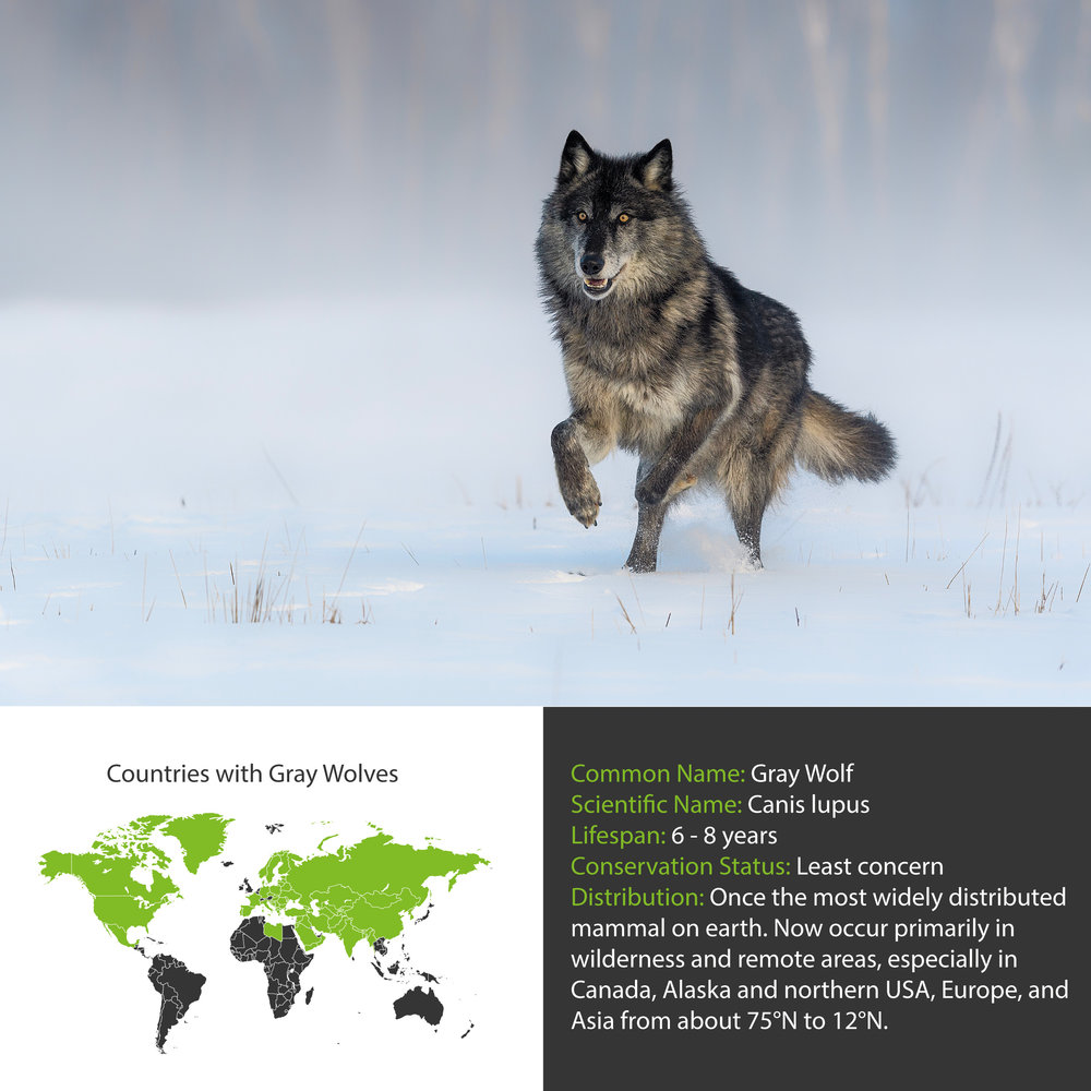 Gray Wolf Distribution