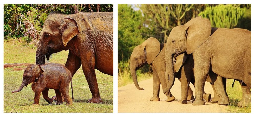 Notice that the ears on the Asian elephant (left) are far smaller than those of the African elephant (right)