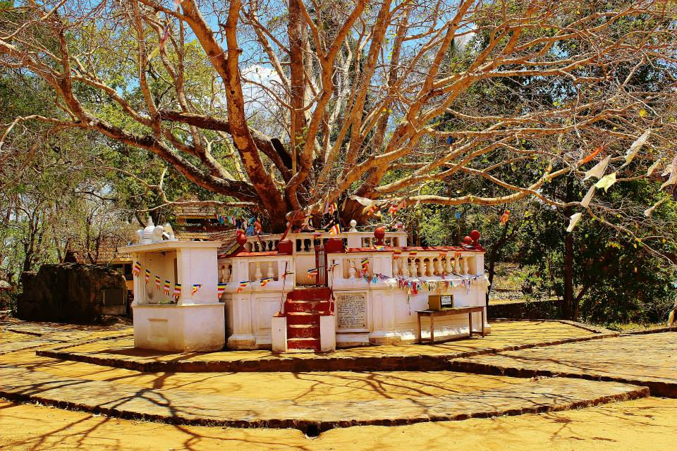 The Bodhi tree on the site of the Avukana Buddha
