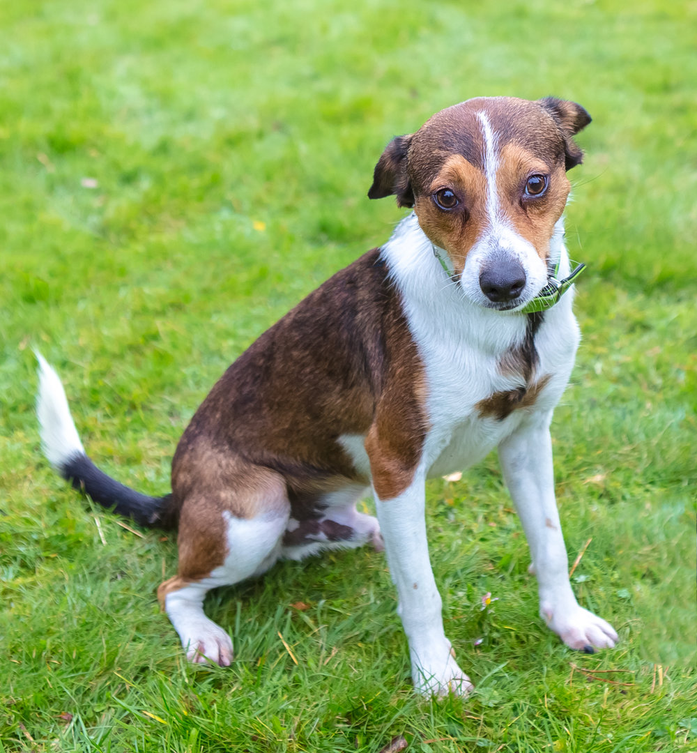 Patric is a small gentle and happy dog Jack Russell Terrier mix breed. This little fellow looking for loving family to could give him home for Christmas.