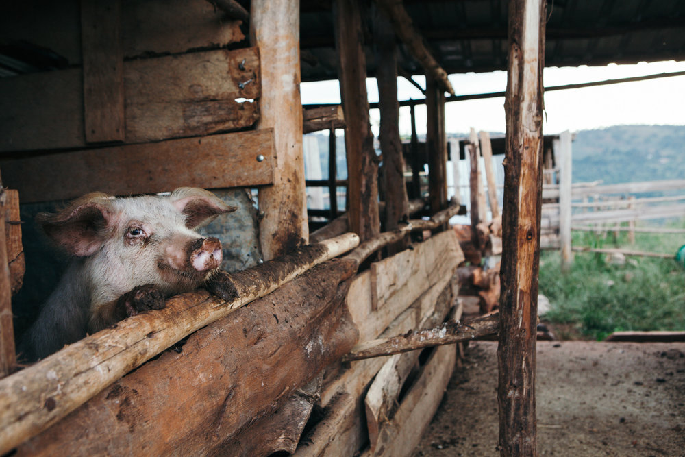 ©TomWoollard_SINA_village-Uganda_editorial-muddy-pig-in-wooden-sty-on-rural-african-farm.jpg