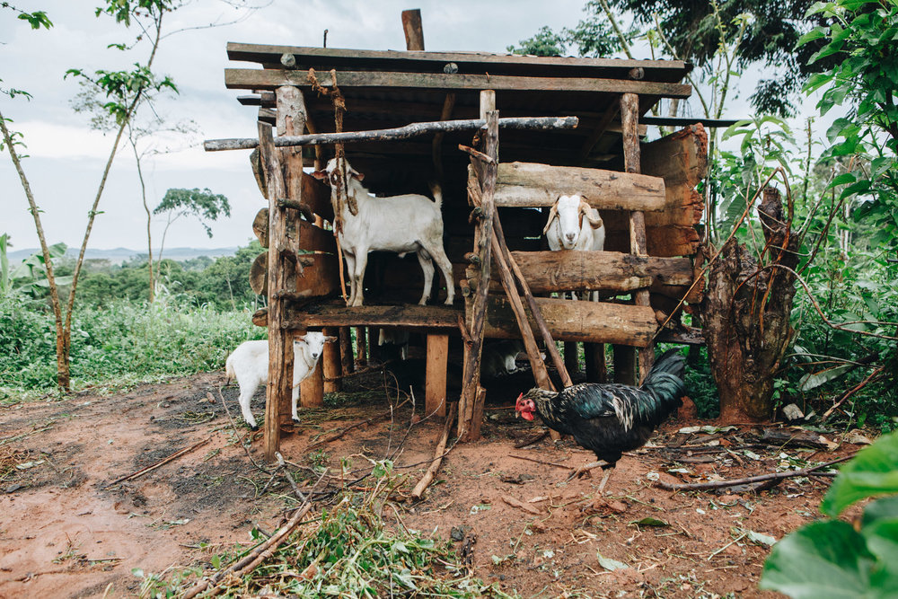 ©TomWoollard_Yunus-Social-Business_Uganda-editorial-african-farm-land-domestic-animals-goats-hut.jpg