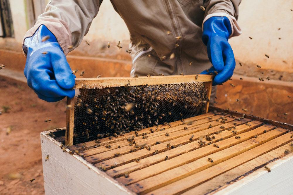 ©TomWoollard_Yunus-Social-Business_Uganda-editorial-african-beekeeper-beehive-honey-bees.jpg