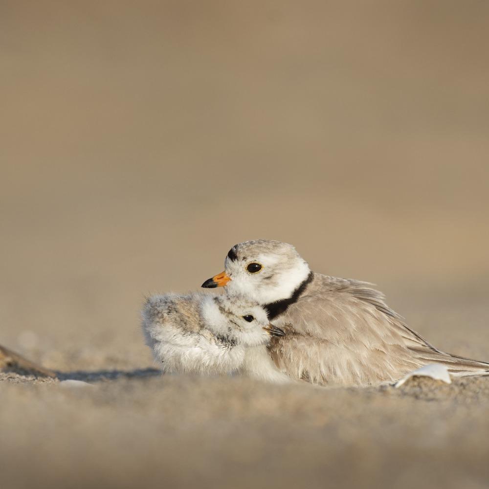 MIGRATING BIRDS -