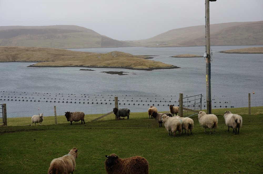 Some of the Shetland sheep on the croft looking over Langsound