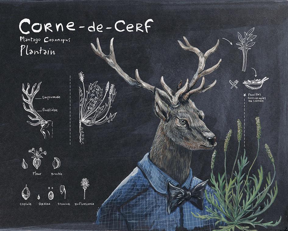 CORNE-DE-CERF_plantain.jpg