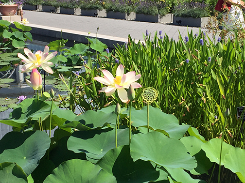 Waterlilies in bloom last week at NYBG.