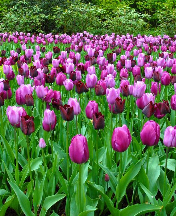 01 Tulip Blog.jpg