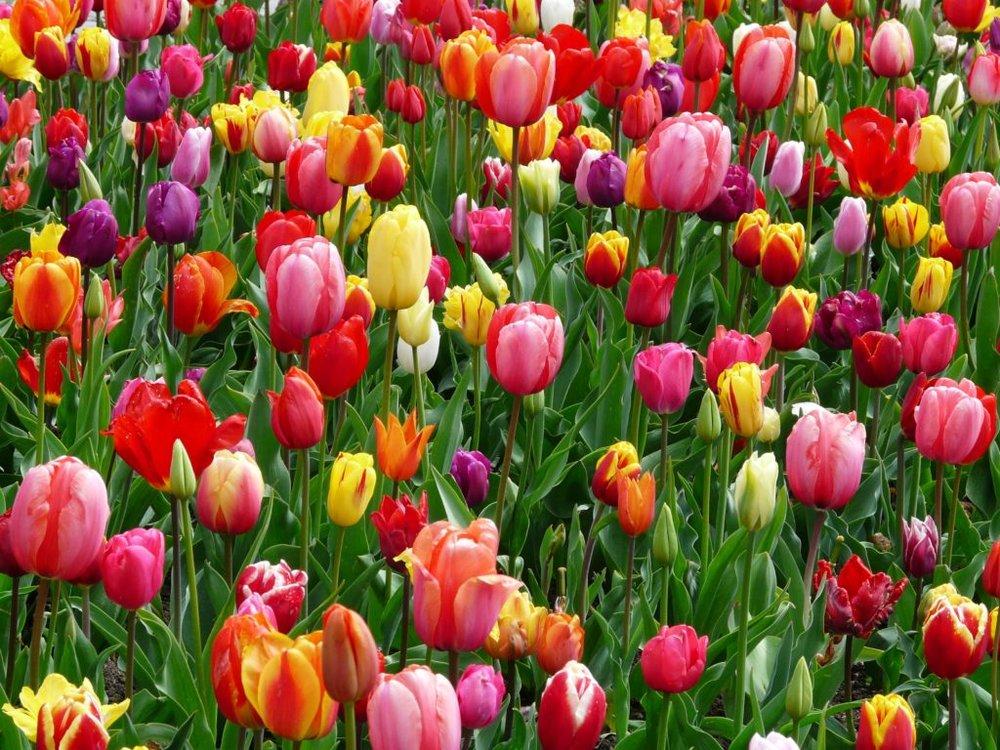 06 Tulip Blog.jpg