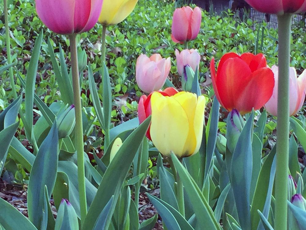 09 Tulip Blog Lori Pic.JPG