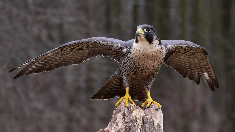 A Peregrine Falcon perched. As recently as the 1980s researchers believed Peregrines had completely disappeared from the Northeast US