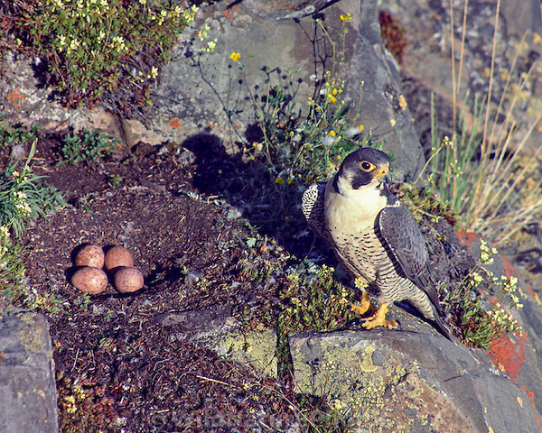 A Peregrine watching over its eggs