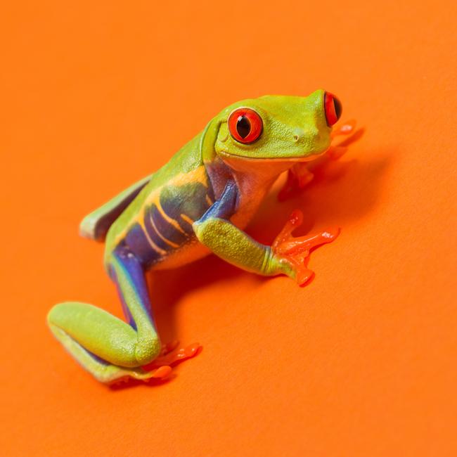 File:Red-eyed Tree Frog (Agalychnis callidryas) 2.jpg - Wikimedia ...