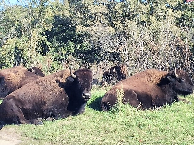 Minneopa State Park in Mankato is the site of a Bison conservation program.