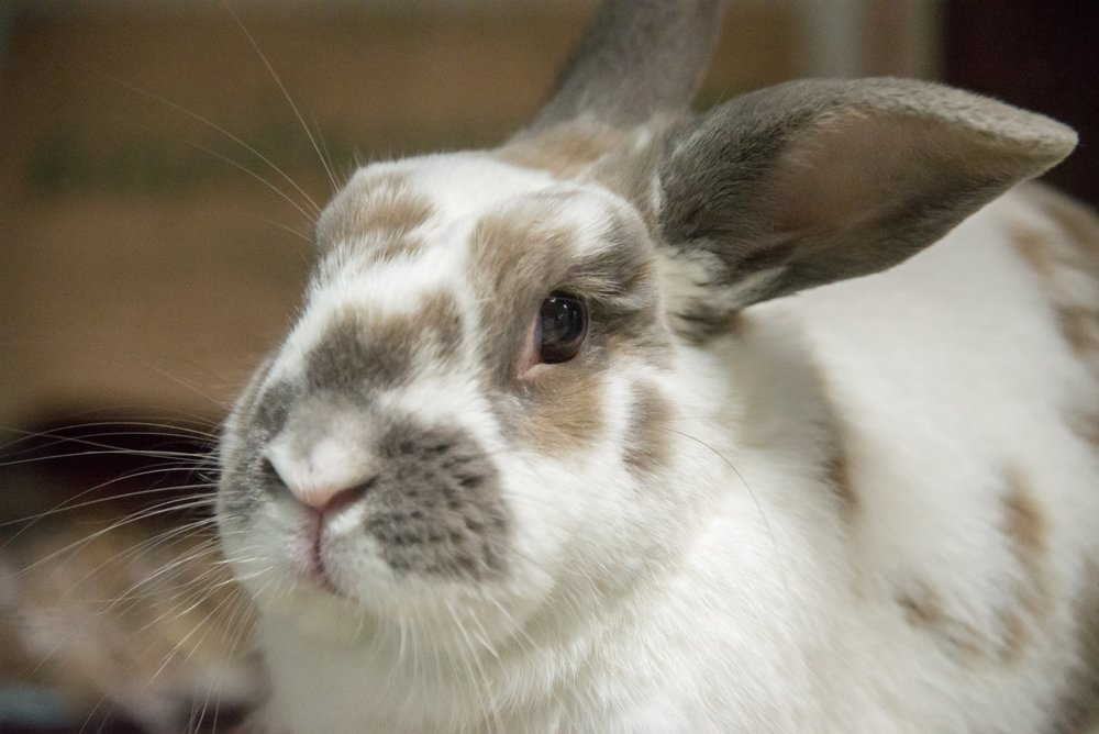 Domestic-Rabbit-Miles-Hara-03.04.15.jpg