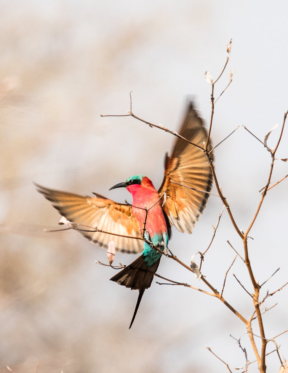 Flying bee eater