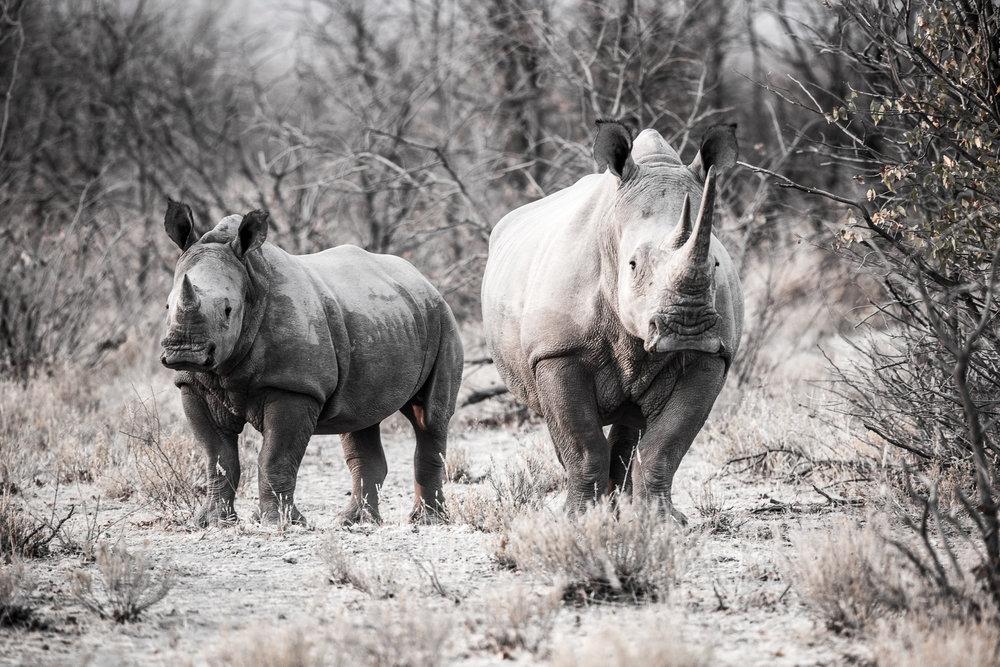Stairing Rhinos