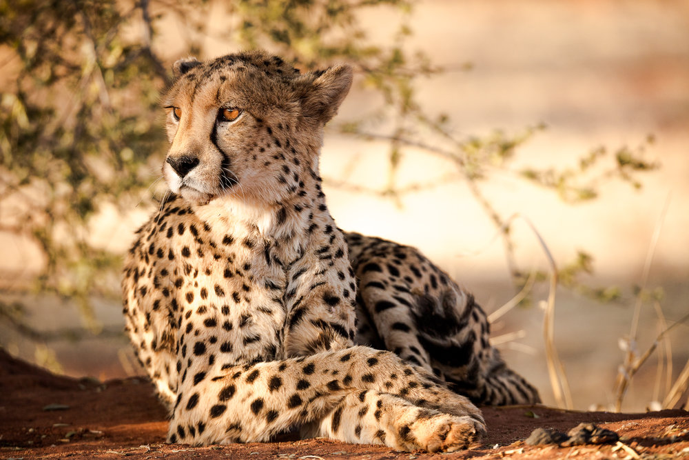 Relaxed Cheetah