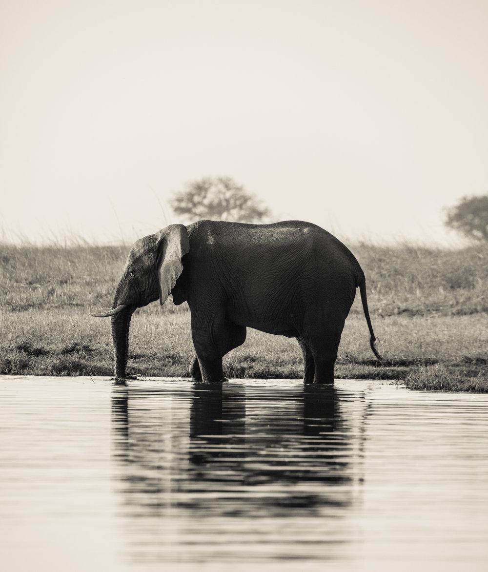 Dipping Elephant