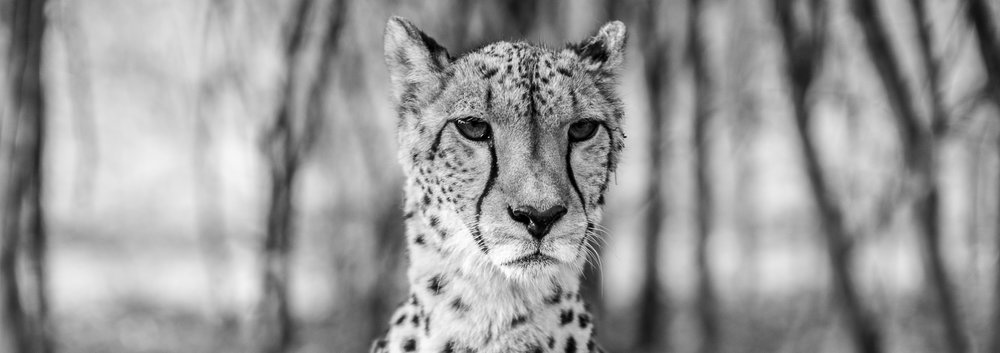 Sitting cheetah-1002226.jpg