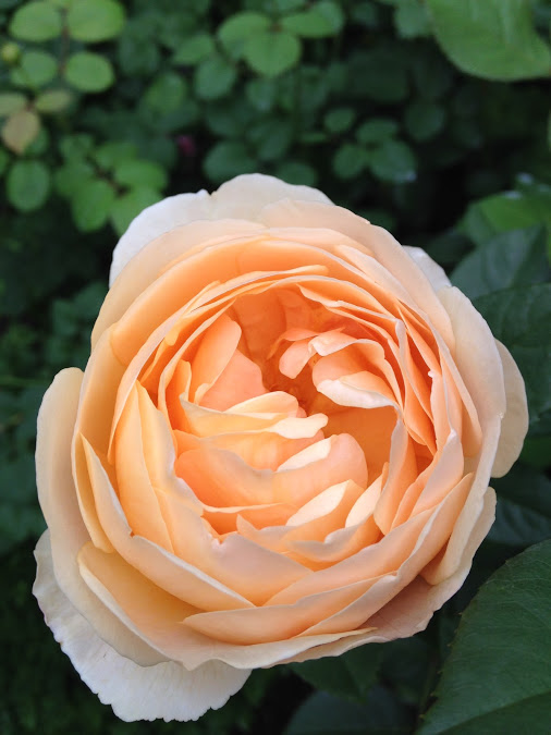 rose-818715_960_720.jpg