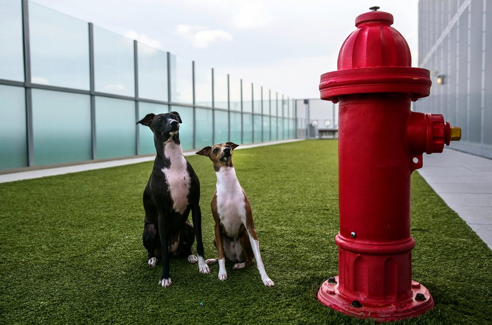 Italian greyhound sisters Gemma and Giada, enjoy the rooftop dog park at City Market at O Street in Washington, DC.