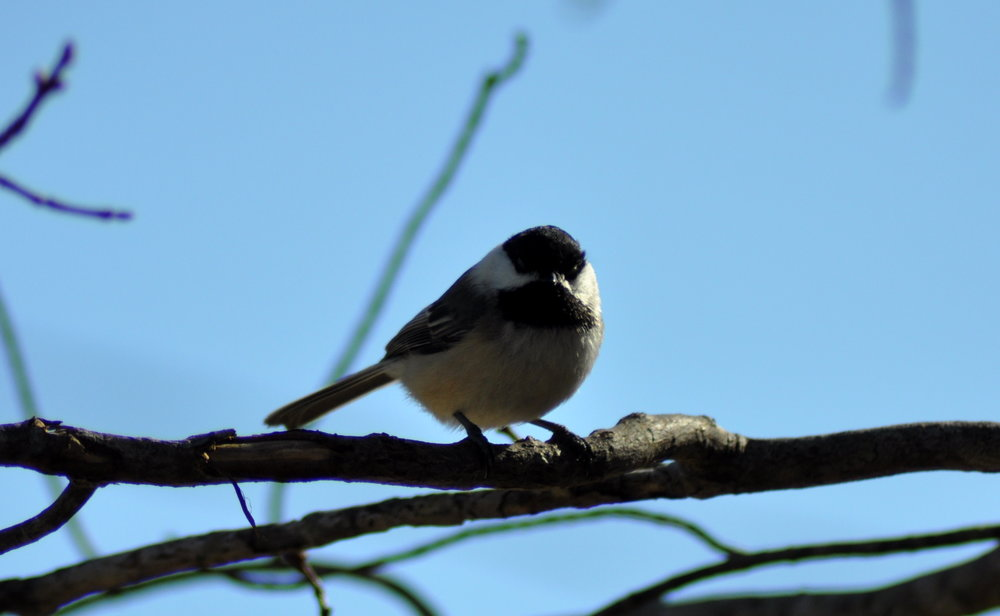 forest songbird (3).JPG