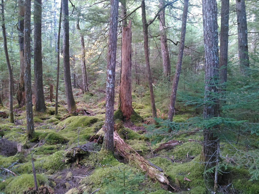 Old Growth Forest, Salmon Lake # 3.jpg