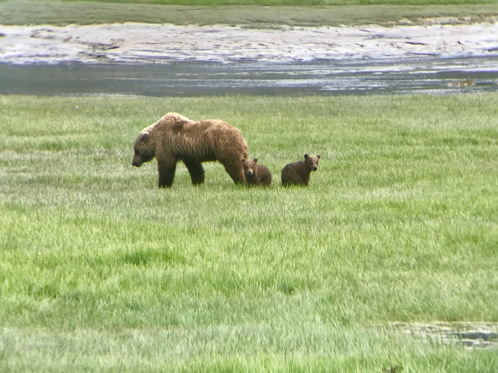 Alaskan brown bear momma and cubs