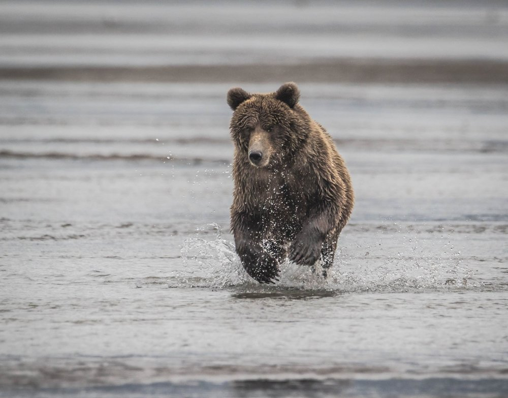 Lake Clark - Brown Bear Running Towards Camera (2 of 2).jpg