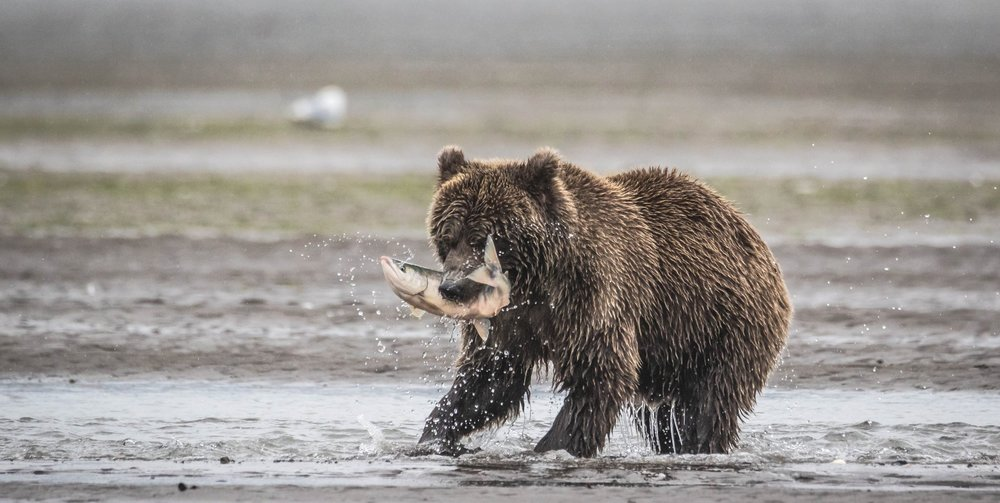 Lake Clark - Brown Bear Hunting Alaskan Salmon (2 of 8).jpg