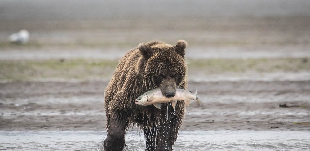 Lake Clark - Brown Bear Hunting Alaskan Salmon (6 of 8).jpg