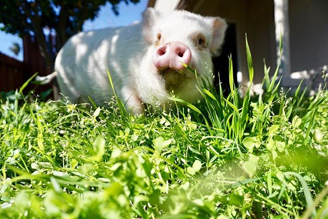 Celebrating #NationalPigDay with a FULL day of grazing🌱🐷🌿 ThOink you to very individual that loves and respects us little piggies.💕 #FriendsNotFood