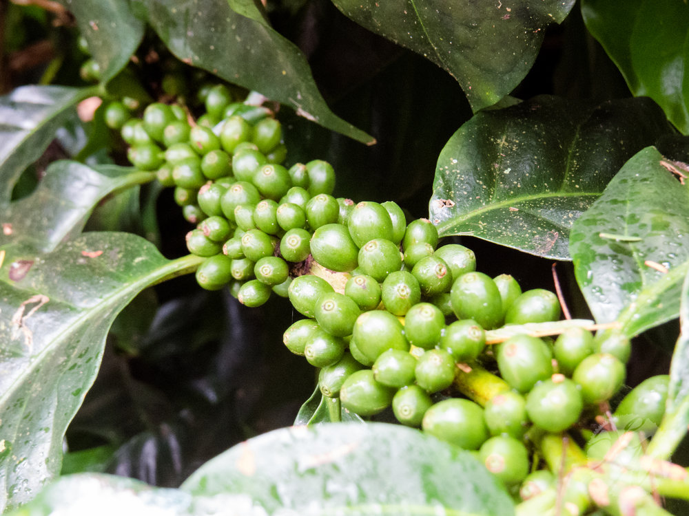 Coffee growing on a small, successful farm run with sustainable practices at its center.