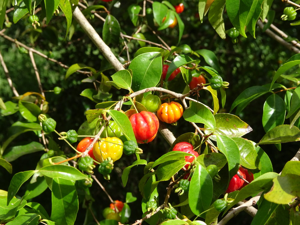Surinam cherry tree