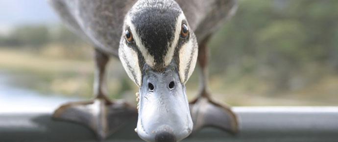 angry-duck.jpg
