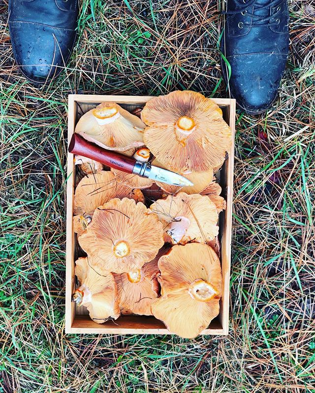 Tis the season. Good haul on this mornings forage. #thefoodpeoplecollective #saffronmilkcap #foraging #sydneyfoodie #foodie #mushrooms #catering #foodporn