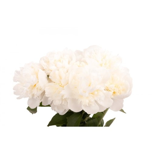White peonies the flower petal white peonies mightylinksfo