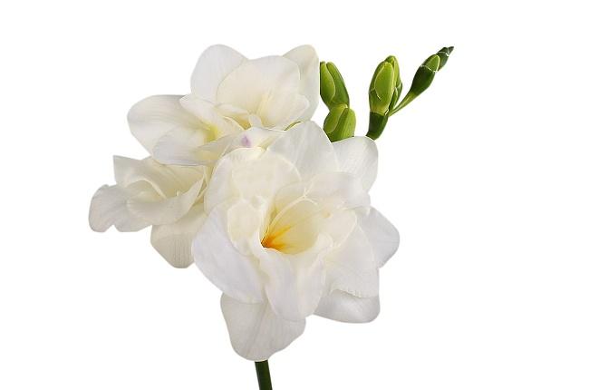 White freesia the flower petal white freesia mightylinksfo