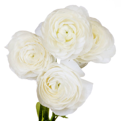 Ranunculus white the flower petal ranunculus white mightylinksfo