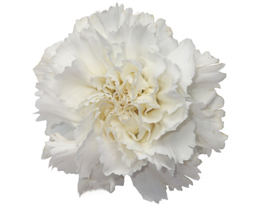 White carnations the flower petal white carnations mightylinksfo