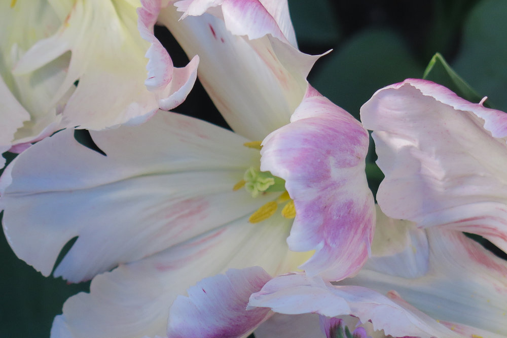 tulips9.jpg