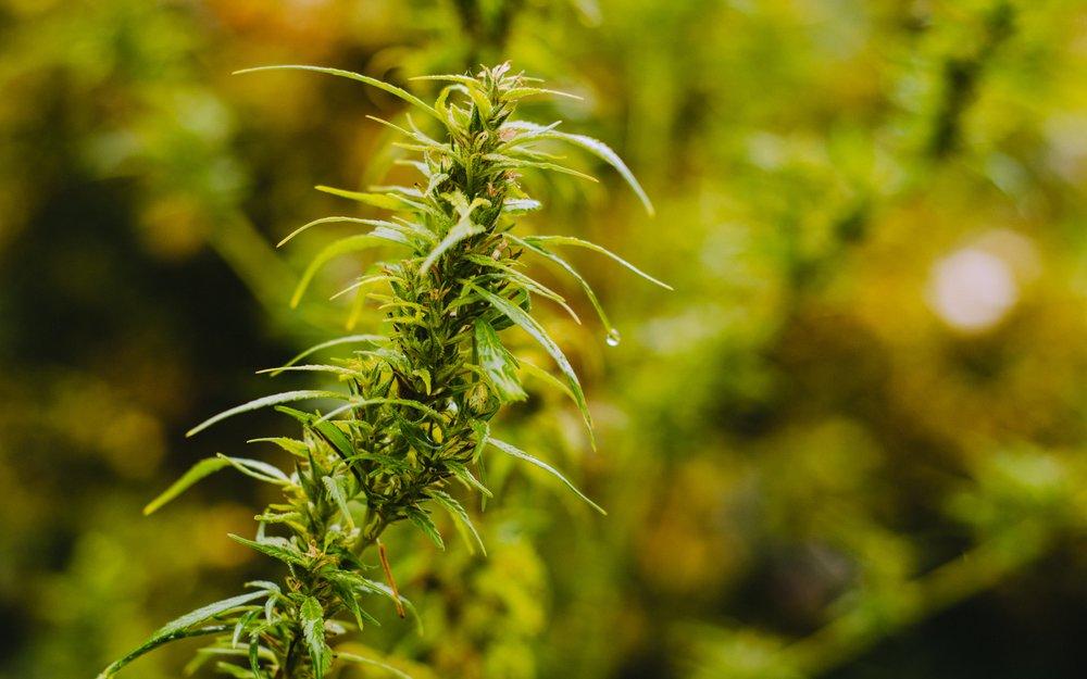 The Worst Advice - We've ever heard given regarding cannabis as medicine!