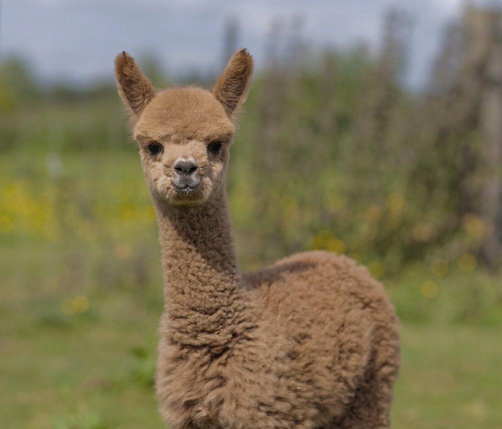organic alpaca wool