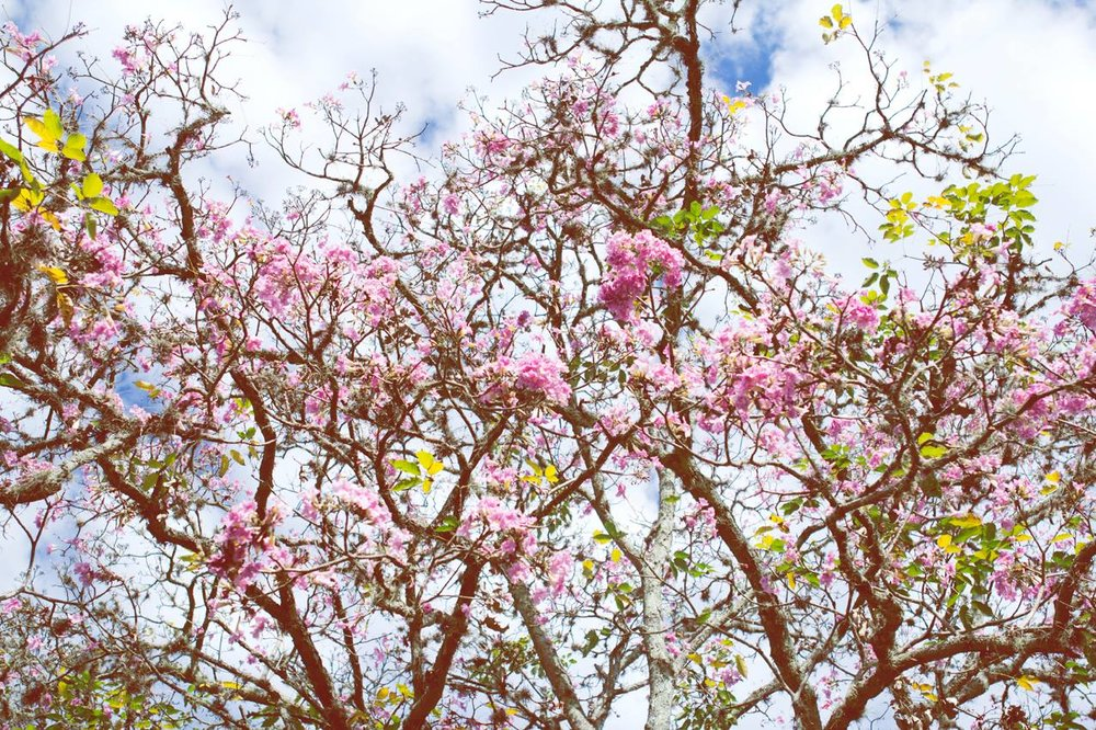 "The city is covered by ""Guayacanes"", this tree full of pink flowers."