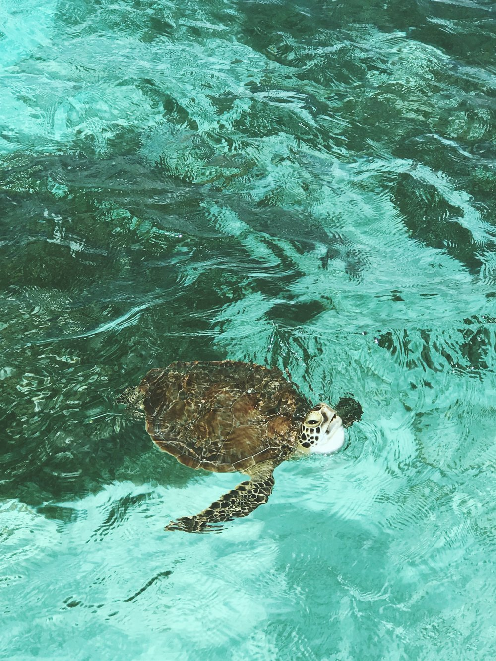 Swimming with turtles at Crab Cay