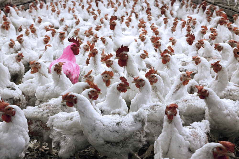 Pink Chicken in Factory Farm